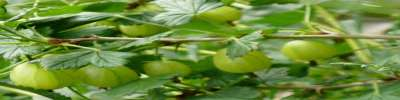Invicta Gooseberry Bushes