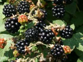 *Ashton Cross Blackberry Bushes
