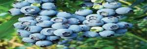 Bluetta Blueberry Bushes