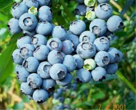 Ivanhoe Blueberry Bushes