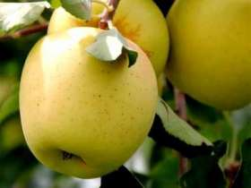 (B) Golden Delicious Apple Trees